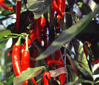 Hot-PeppersCrop